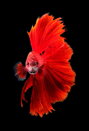 fire fin fighting: Red dragon siamese fighting fish, betta fish isolated on black background.
