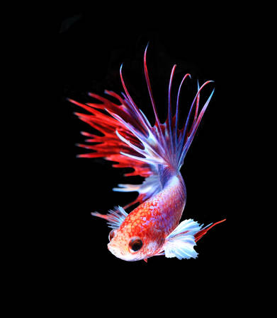 fire fin fighting: Red and white siamese fighting fish half moon , betta fish isolated on black background.