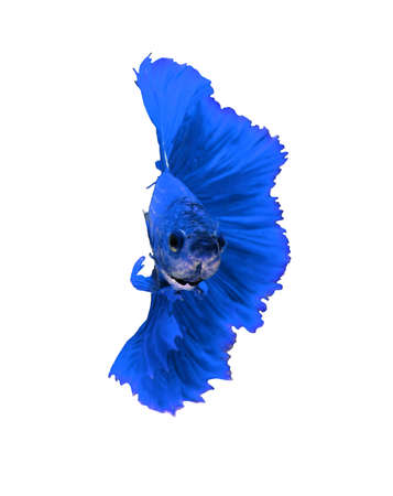 blue fish: Blue dragon siamese fighting fish, betta fish isolated on white background.