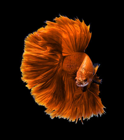 animal fight: Orange dragon siamese fighting fish, betta fish isolated on black background.