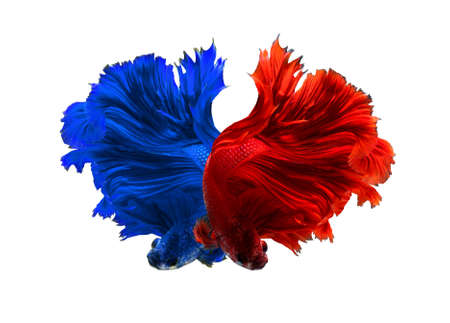 fire fin fighting: Red and Blue dragon siamese fighting fish, betta fish isolated on black background. Stock Photo