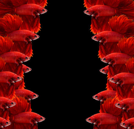fire fin fighting: Red siamese fighting fish,Halfmoon betta fish isolated on black background.