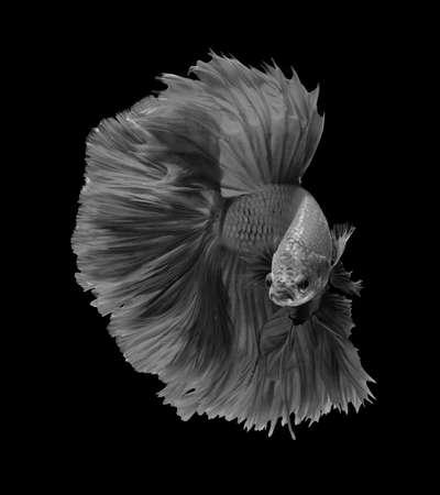 black fish: Black and white siamese fighting fish, betta fish isolated on black background.