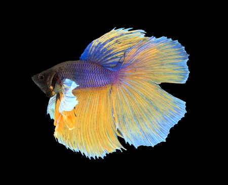 fire fin fighting: Gold and blue siamese fighting fish, betta fish isolated on black background.