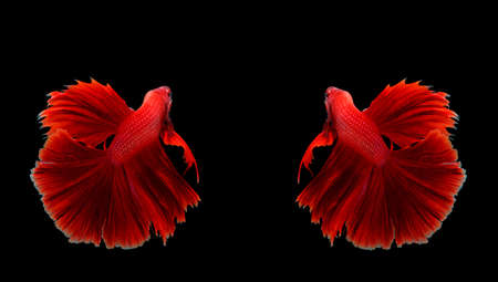 fire fin fighting: Couple red dragon siamese fighting fish, betta fish isolated on black background.