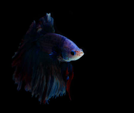 fire fin fighting: Red and blue siamese fighting fish, betta fish isolated on black background.