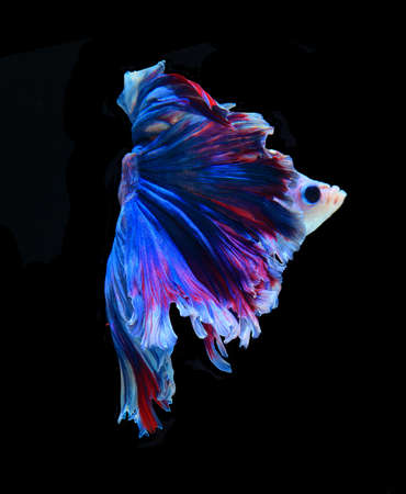 aquarium hobby: Red and blue siamese fighting fish, betta fish isolated on black background.