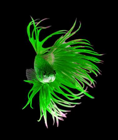 aquarium hobby: Green dragon siamese fighting fish, betta fish isolated on black background.