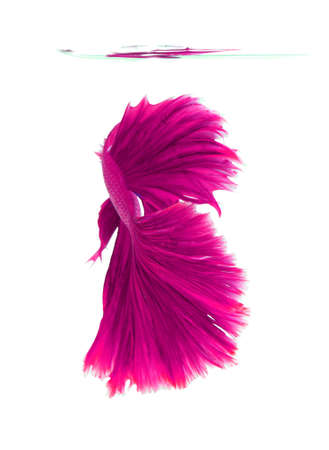 fire fin fighting: Pink siamese fighting fish, betta fish isolated on white background. Stock Photo