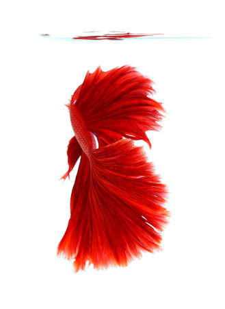fire fin fighting: Red siamese fighting fish, betta fish isolated on white background.