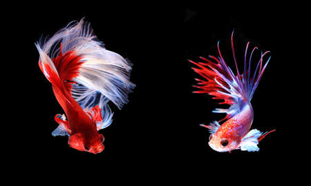 half fish: Red and white siamese fighting fish half moon , betta fish isolated on black background.