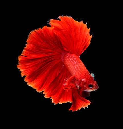dragon fish: Red dragon siamese fighting fish, betta fish isolated on black background.