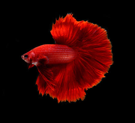 dragon fish: Red dragon siamese fighting fish,Halfmoon betta fish isolated on black background.