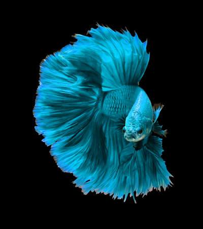 dragon fish: Blue turquoise dragon siamese fighting fish, betta fish isolated on black background.