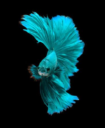 Blue turquoise dragon siamese het vechten vissen, betta vis op een zwarte achtergrond. Stockfoto