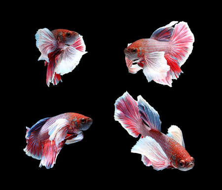 fire fin fighting: Red doubletail siamese fighting fish, betta fish isolated on black background.