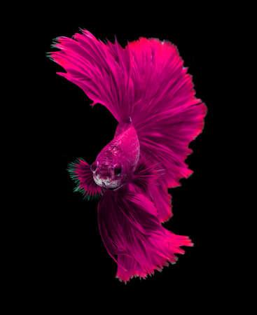 dragon swim: Pink dragon siamese fighting fish, betta fish isolated on black background. Stock Photo