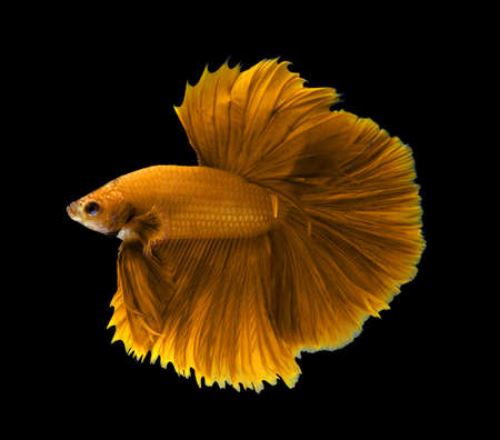 aquarium hobby: yellow siamese fighting fish,Halfmoon betta fish isolated on black background.