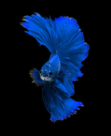 fire fin fighting: Blue dragon siamese fighting fish, betta fish isolated on black background.