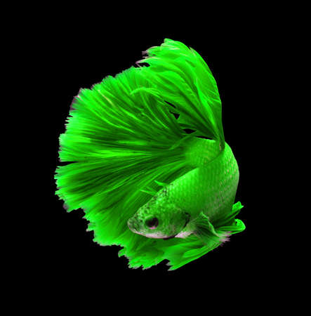 fire fin fighting: Green dragon siamese fighting fish, betta fish isolated on black background.