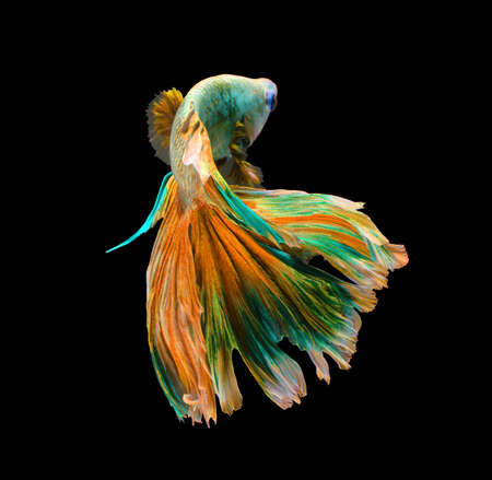 Colorful siamese fighting fish, betta fish isolated on black background.