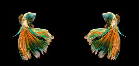 freshwater aquarium fish: Couple colorful siamese fighting fish, betta fish isolated on black background.
