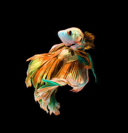 dragon swim: Red and blue siamese fighting fish, betta fish isolated on black background.