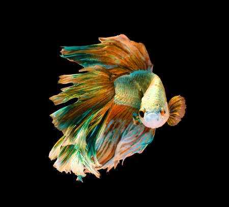 betta: Yellow and green siamese fighting fish, betta fish isolated on black background.  Stock Photo