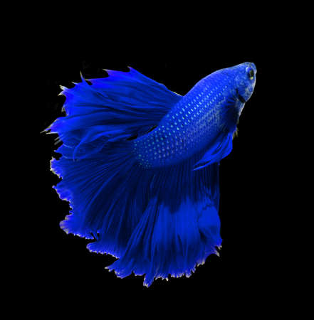blue dragon: Blue dragon siamese fighting fish, betta fish isolated on black background.