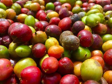 Colorful raw coffee seeds closeup.