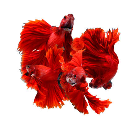 Mix red dragon siamese fighting fish emotion image, betta fish isolated on white background.