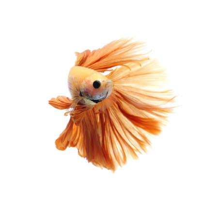 Orange siamese fighting fish, betta fish isolated on Black background.Crowntail Betta in Thailand. 版權商用圖片