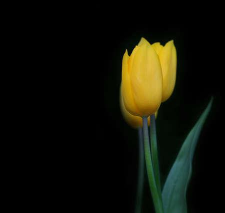 Bouquet of yellow tulips on a dark background. 版權商用圖片