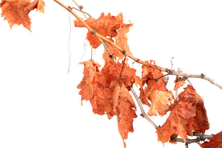 Brown dry grape branches and leaves rising on a white background. 版權商用圖片