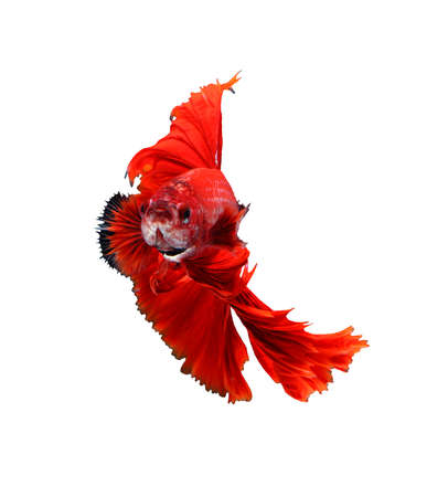 Red dragon siamese fighting fish, betta fish isolated on white background.