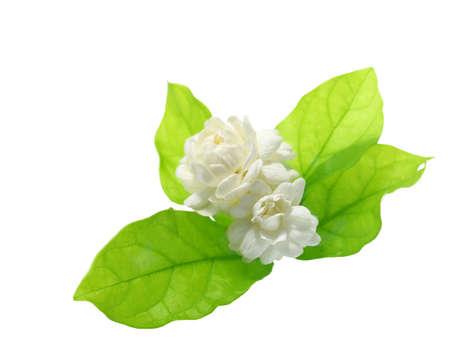 Jasmine flower on white background.