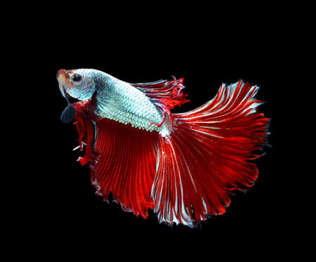 Red dragon siamese fighting fish, betta fish isolated on black background.copy space background.
