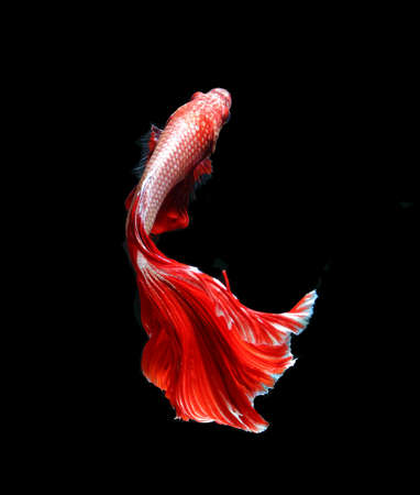 Red dragon siamese fighting fish, betta fish isolated on black background. Capture the moving moment of white siamese fighting fish isolated on black background, Betta splendens. 版權商用圖片