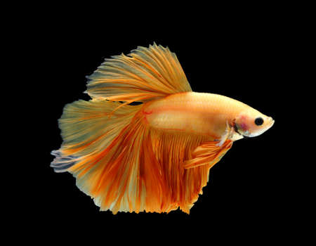 Orange siamese fighting fish isolated on black background.Copy space black background.