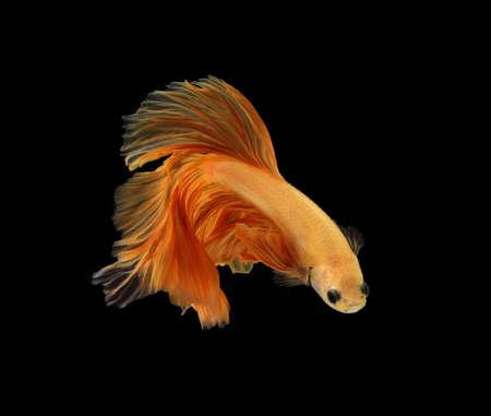 Orange siamese fighting fish isolated on black background.Copy space black background.