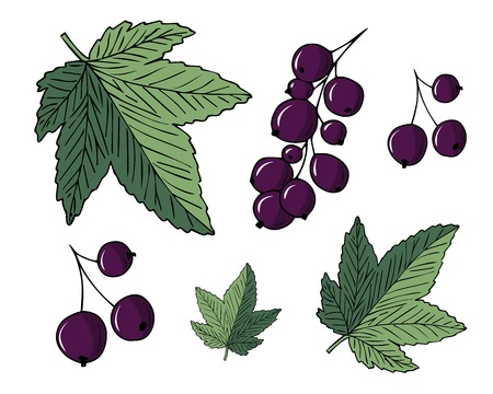 Set of vector handdrawn illustrations of currants and leaves isolated on white background