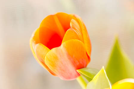 pestil: close up of an orange tulip Stock Photo