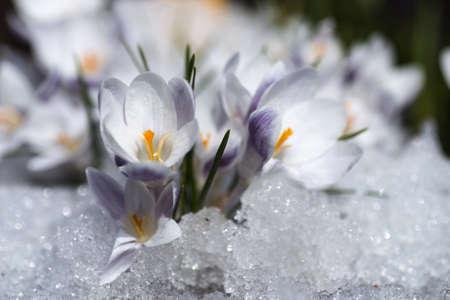 Crocus flowers blooming through the melting snow in the spring stock crocus flowers blooming through the melting snow in the spring stock photo 79116735 mightylinksfo