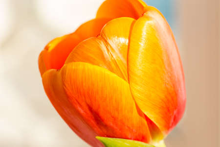 pestil: close up of an orange tulip on white background