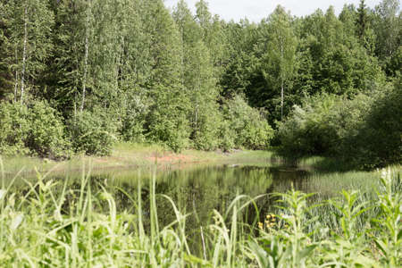 wetland conservation: Magical summer swamp deep in the forest. Mysterious place in a forest. Forest lake scene.