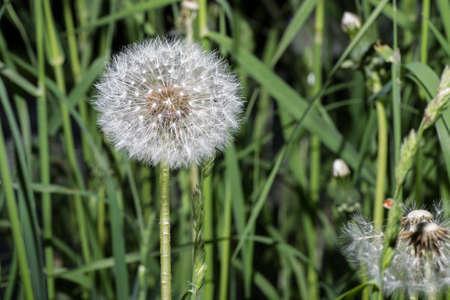 Dandelion tranquil abstract closeup art background. Beautiful blowball. Banque d'images