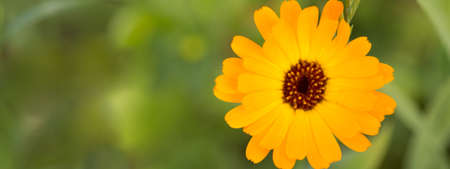 Flower of calendula on blossom. Blurred summer background with growing marigold flowers..Solar flower closeup Stock Photo