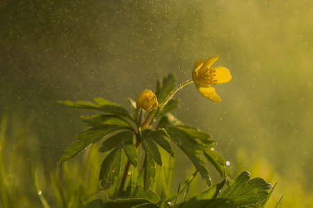 Wild flower buttercup with sunshine shallow dof and flying water particle. Stock Photo