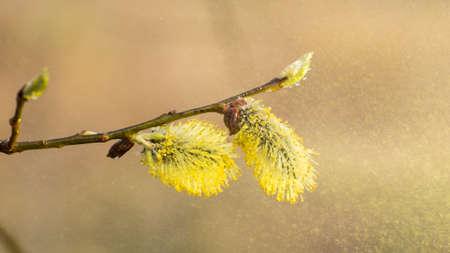 La prima primavera dolce foglie, germogli e rami Archivio Fotografico - 89821527