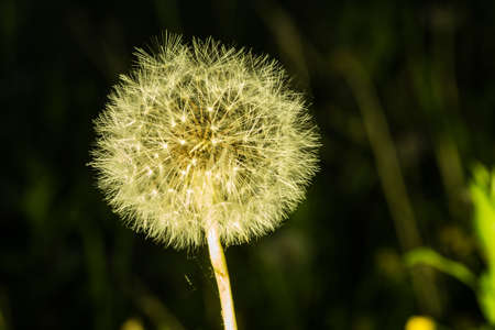 Dandelion tranquil abstract closeup art background. Beautiful blowball. Stock Photo